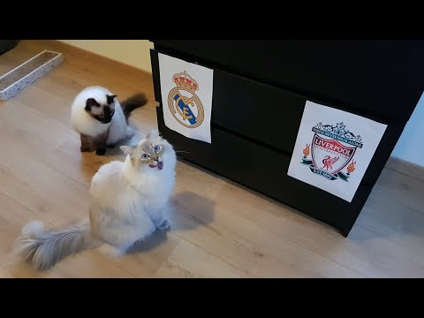 Champions League 2018 Prediction by cats (Dolly and Gabby)